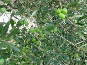 Oliven (2)